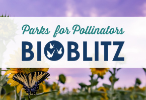 Parks for Pollinators BioBlitz: Swallowtail Butterfly