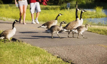 There are several techniques to help manage the growing Canada geese population in parks.