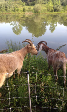 Two goats from a small herd that was enlisted to help control the spread of noxious weeds at Banshee Reeks Nature Preserve in Leesburg, Virginia.